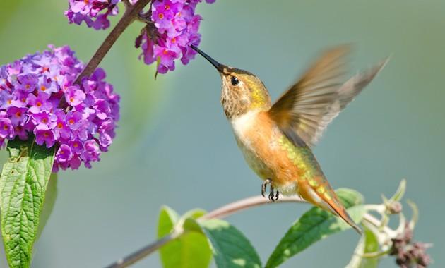Butterflybush.jpg